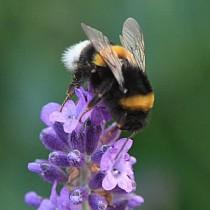Maya-l-abeille-0212b